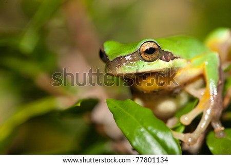 Tree frog on the leaf (Hyla chinensis)