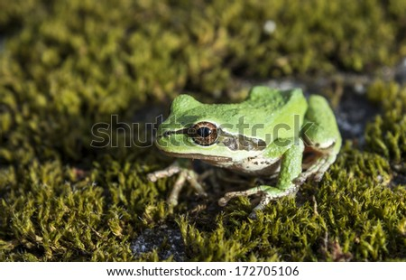 Tree frog relaxing on forest floor of moss