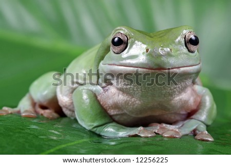 Tree frog sitting on green leaf - stock photo