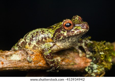 Tree frog tree frog borneo tree stock photo 453935140 for Frog agency