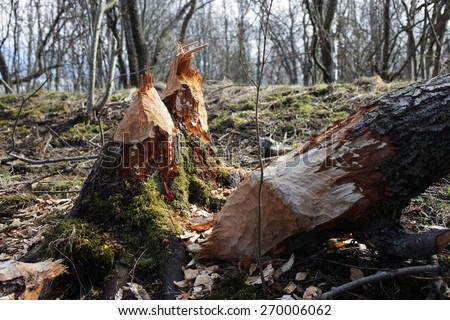 Tree gnawed by beavers. Photographed in Estonia. - stock photo