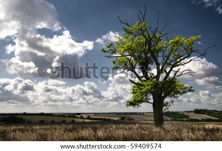 Tree in a wheat field in Hundon, Suffolk England.  Beautiful blue skies with fluffy clouds - stock photo