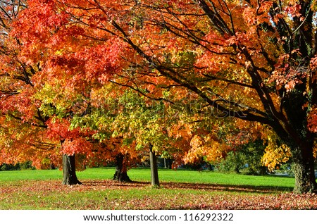Tree in autumn with all colors of red orange and yellow leaves - stock photo