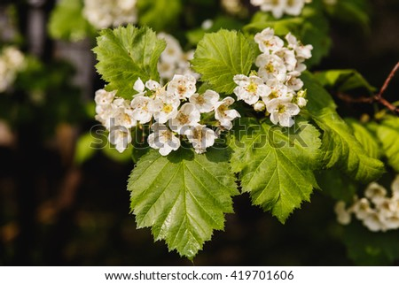Tree in blossom, spring, white flowers