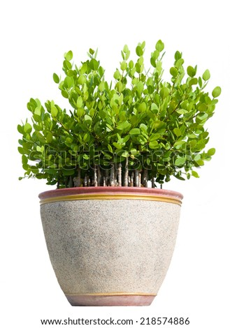 Tree in flowerpot, Isolated on white background - stock photo