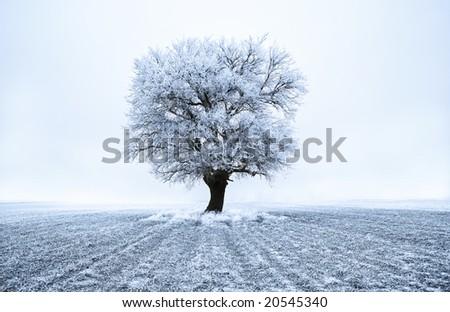 Tree in frost at frozen field. Blue tone. Winter scene. - stock photo