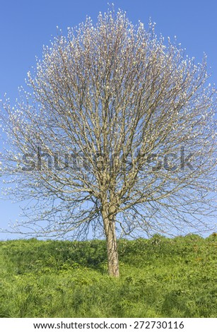 tree in spring growth