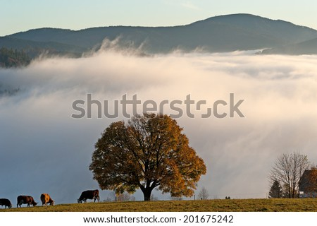 Tree in the Black Forest with Mt Belchen in the background - stock photo