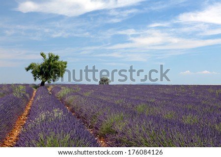 Tree in the rows of scented flowers in the lavender fields of the French Provence near Valensole - stock photo