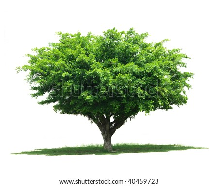 Tree isolated against white background - stock photo