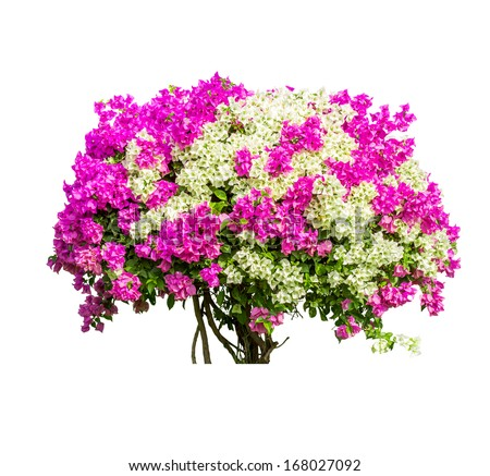 Tree isolated on white background, bougainvilleas tree, with clipping path. - stock photo