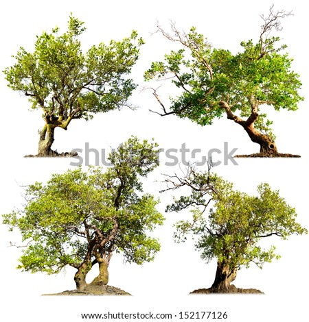 Tree isolated on white. Chinese garden bonsai - stock photo