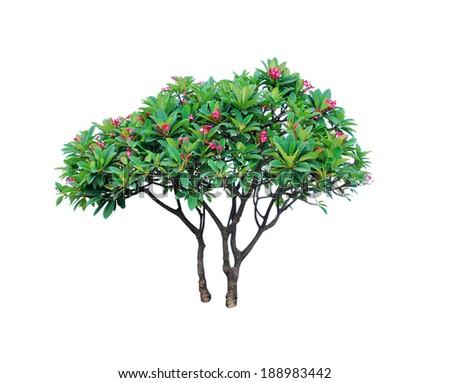 tree isolated on white (Frangipani plumeria tree) - stock photo