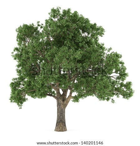 Tree isolated. Quercus - stock photo