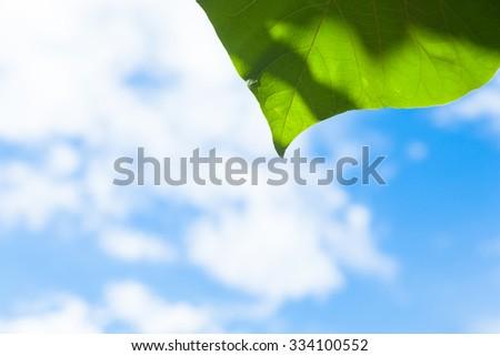 Tree leaf and sky, beneath the tree. Clear sky - stock photo