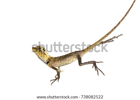Tree lizard carefully looks out for something, especially a possible danger. Isolate on white background with clipping path.