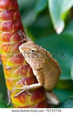 tree lizard ,phuket thailand - stock photo