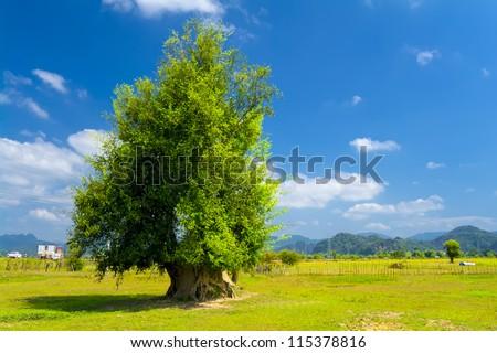 Tree located 8 km northeast of Thakhek. Laos. - stock photo