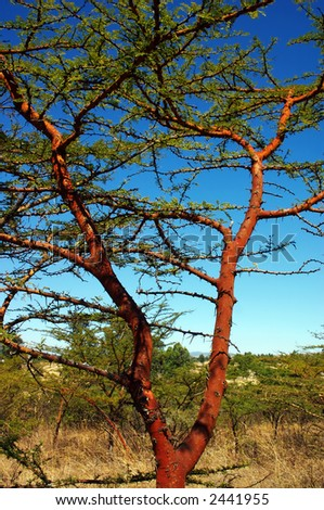 Tree, Melka Kunture, Ethiopia. - stock photo