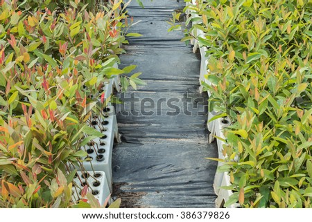 Tree nursery The tree planting eucalyptus with aisles to walk right in the middle of the water. - stock photo