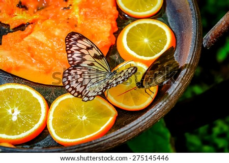 Tree Nymph butterfly feeding  - stock photo
