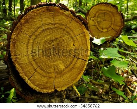 Tree  oak  cut - stock photo