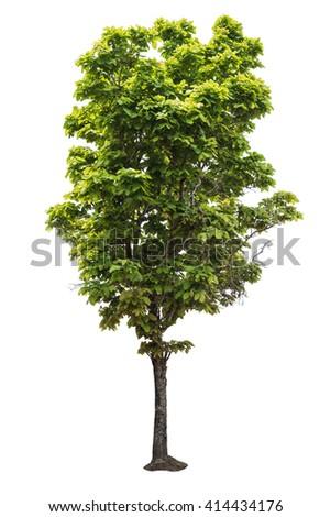 Tree of isolate - stock photo