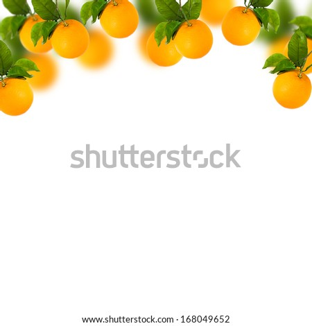 Tree of Sweet oranges with white background and blur - stock photo