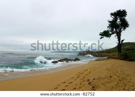 Tree on a beach near Carmel, CA - stock photo