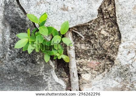 Tree on broken wall. - stock photo