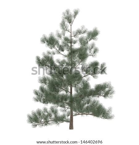 Tree pine isolated. exotic Pinus - stock photo