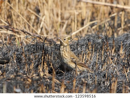 Tree Pipit on dry burnt grass