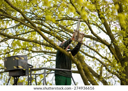 Tree pruning by a man with a chainsaw, standing on a mechanical platform, on high altitude between the branches of old oak trees