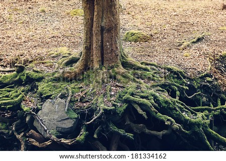 tree roots holding rock - stock photo