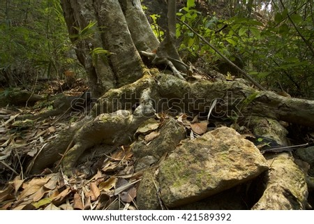 Tree roots on the rock landscape photography of nature in Northern Thailand.