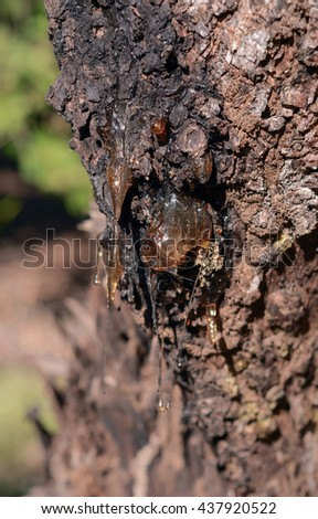 tree sap resin dropping from bark - stock photo