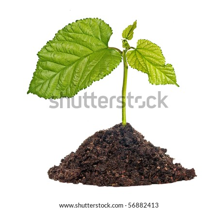 Tree seedling growing from soil - stock photo