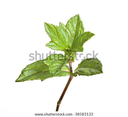 Tree shoot isolated on white background