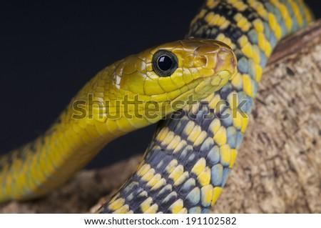 Tree snake / Thrasops jacksonii - stock photo
