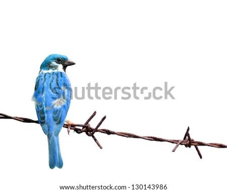 Tree Sparrow isolate on  white background - stock photo