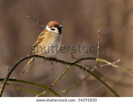 Tree Sparrow perching on a branch of the tree.