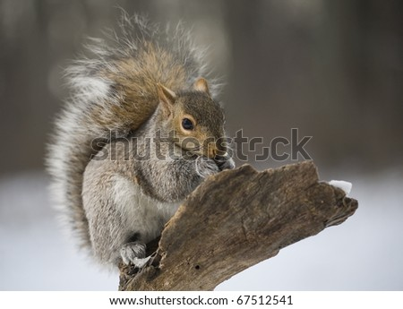 Tree squirrel on a branch after a winter snow