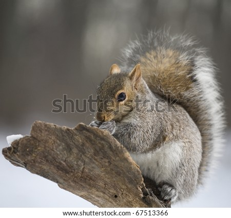 Tree squirrel on a branch shortly after a snow storm