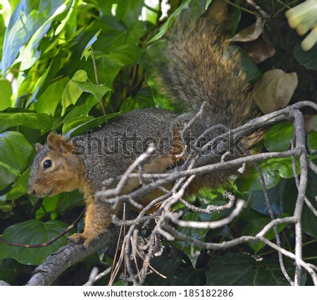 Tree Squirrel Standing On Pine Tree Branch