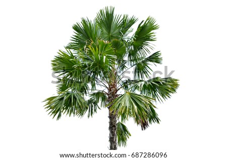 Tree Sugar palm isolated on white background with copy space for add text message, used for in interiors home, garden and park decoration