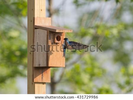 Tree swallow at bird house in Virginia.   Landing on box. - stock photo