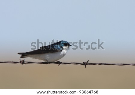 Tree Swallow perched on barbed wire strand - stock photo
