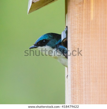 Tree Swallow (Tachycineta bicolor) looking out of a nest box - stock photo