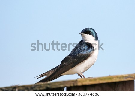 Tree Swallow with Blue Sky Background, British Columbia, Canada - stock photo