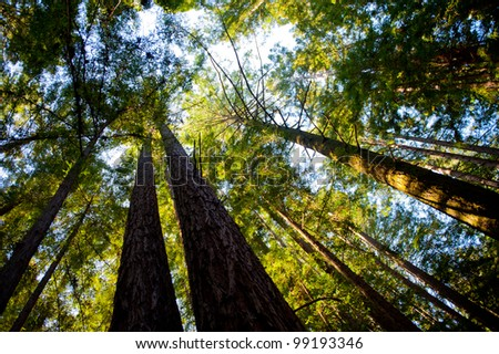 Tree tops at UCSC - stock photo